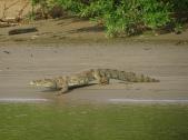 White caiman on Manu river